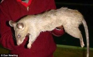 rata come bebe