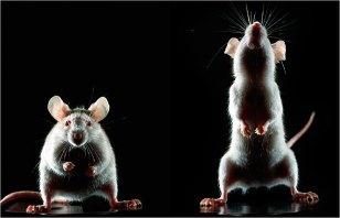 ratones(1)